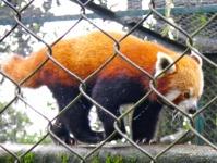 Panda Roux, zoo de Darjeeling