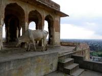 Vache sacré, Monkey temple, Jaipur